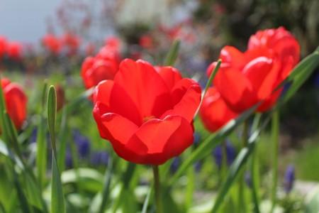 Spring breeze through a tulip garden Stock Photo