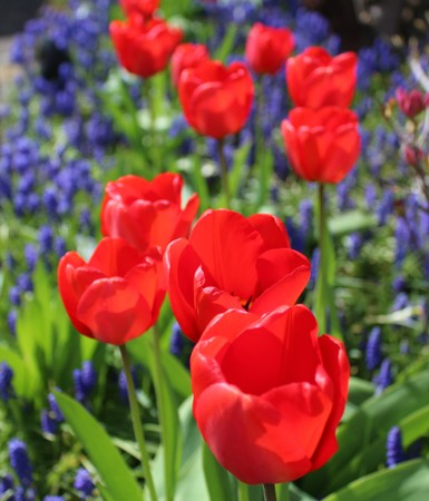 Red tulips with muscari in a spring garden Stock Photo