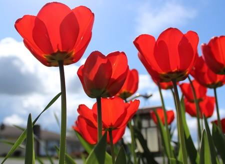 plants species: Tulipani rossi splendidamente fioriti con cielo blu primaverile Archivio Fotografico