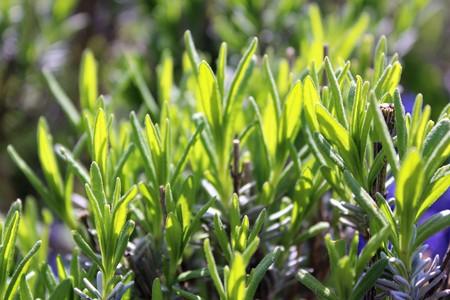 Lavenders new leaves