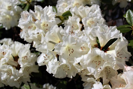 White rhododendron flowers bloom in the spring sunshine
