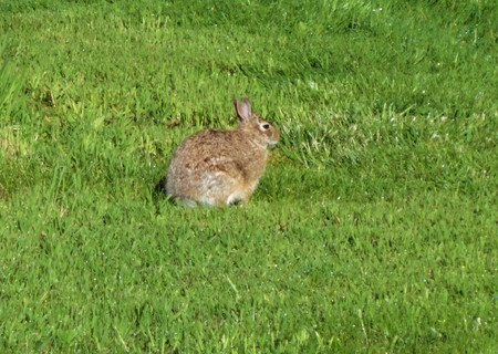 a wild rabbit sitting in a yard Stock Photo