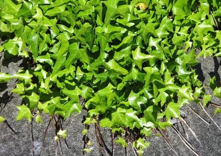Ivy plants invade a street
