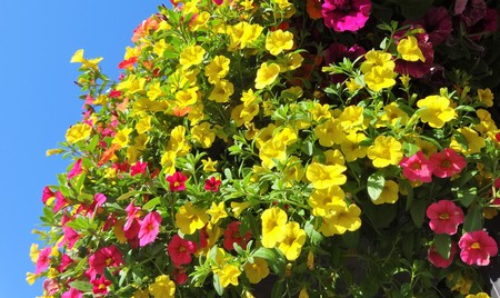 Million Bells bloom in multiple colors in a hanging basket