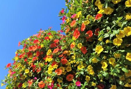 Million Bells bloom in multiple colors in a hanging basket