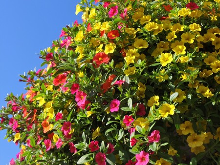 decorative balcony: Million Bells bloom in multiple colors in a hanging basket