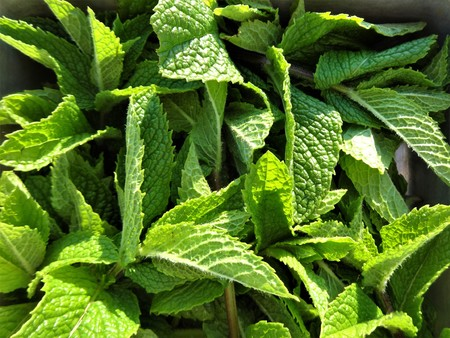 fragrant: Freshly picked mint leaves