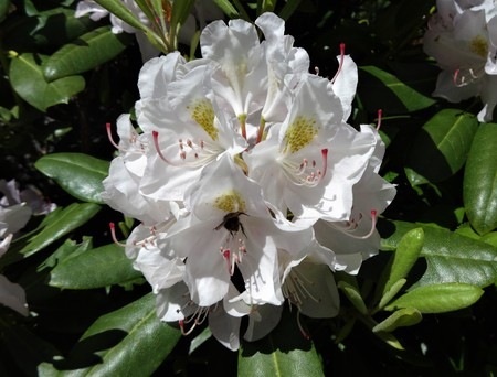showy: White rhododendron flowers bloom in the spring sunshine