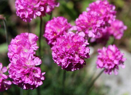 Armeria flowers in bloom Stock Photo