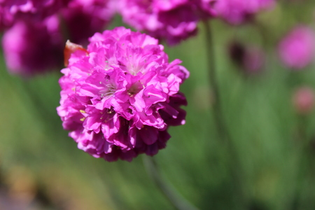 Armeria full bloom