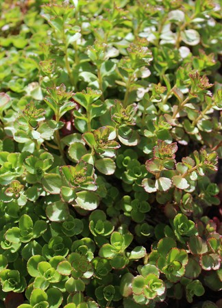 Sedum leaves, fresh green color in early summer