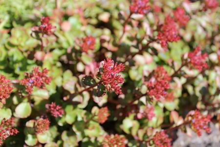Sedum plants have flower buds blooming under the sunshine