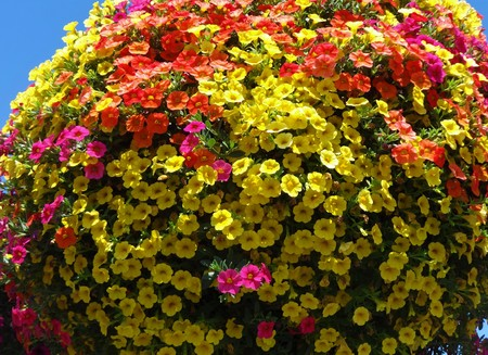 Multi colored million bells in bloom in a hanging basket