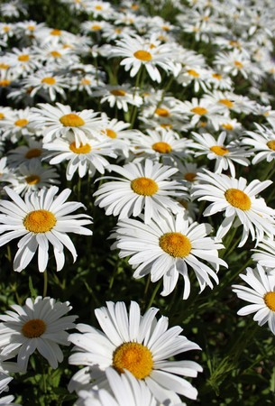 shasta daisy: Full bloom Shasta daisies in mid summer