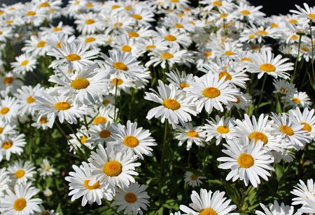 Full bloom Shasta daisies in mid summer