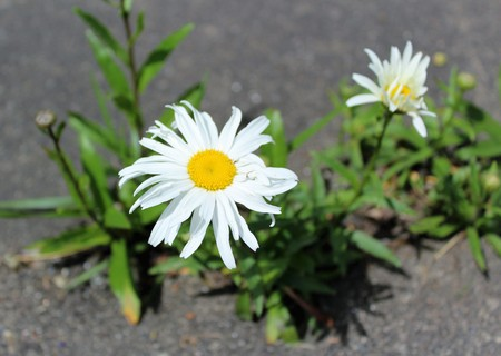 Daisies bloom beautifully even in a tough situation like in a concrete crack Stock Photo