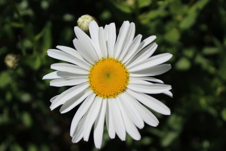 shasta daisy: Full bloom Shasta daisy in mid summer Stock Photo