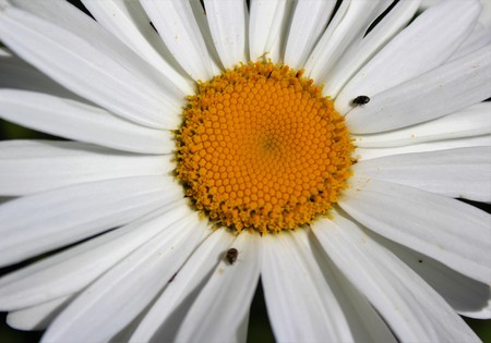 shasta daisy: Small insects on full bloom Shasta daisy in mid summer Stock Photo
