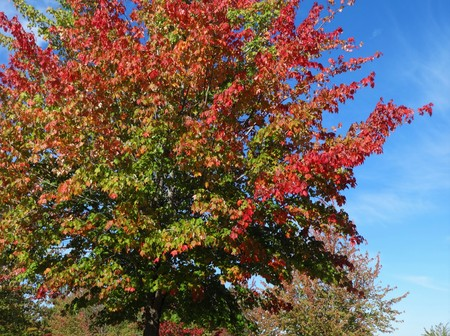 Changing color of red leaves under a blue sky with a cool breeze on a sunny day in October