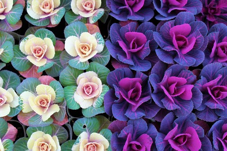Top view of colorful ornamental cabbages