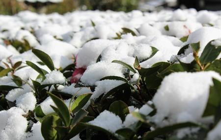 동백 나무 가지에 눈이 내린다. 스톡 콘텐츠