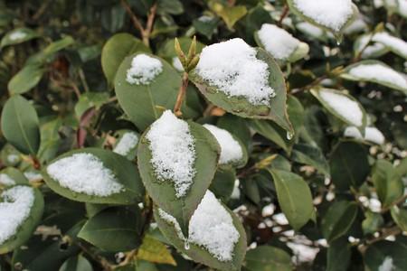 동백 나무에 눈이 내린다.
