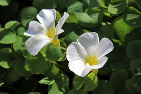 White oxalis flowers bloom in spring Stock Photo