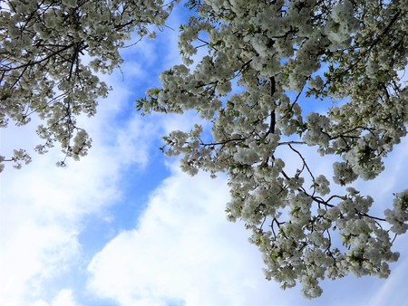 Cherry blossoms with a spring sky Stock Photo