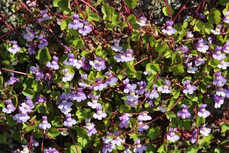 Tiny purple flowers bloom vine plant in late spring stock photo stock photo tiny purple flowers bloom vine plant in late spring mightylinksfo