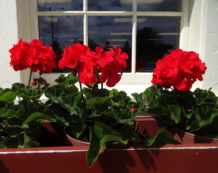 A window box of red geraniums in full bloom
