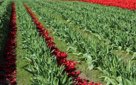 Tulip blooms are discarded to benefit the bulbs for next season