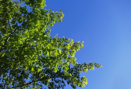 Fresh new leaves brighten from spring sunshine against a blue sky Banco de Imagens