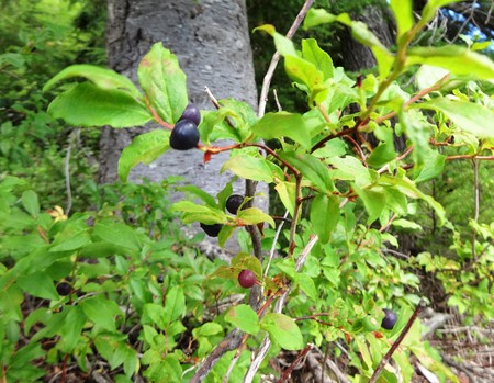 Ripening wild blueberries in the mountains Zdjęcie Seryjne