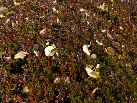 Ginko leaves fell and scattered on a shrub