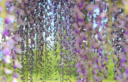 Gorgeous purple wisteria flowers in full bloom on an arbor in a garden Stock fotó