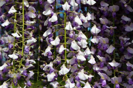 Purple wisteria flowers blooming downward Stock fotó - 130530481