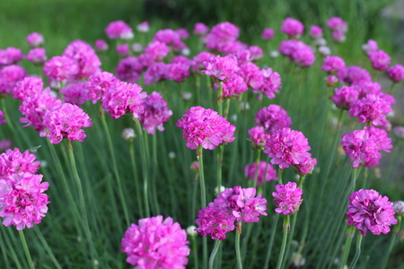 Armeria maritima, sea thrift, pink flowers bloom in the morning sunlight