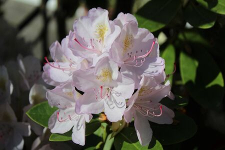 Elegant rhododendron flower in full bloom in the spring sunshine