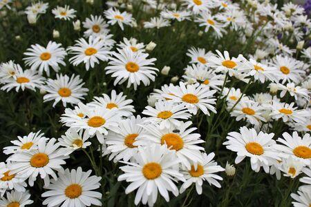 Full bloom Shasta daisies in early summer