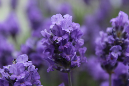 Close up of blooming lavender