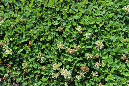 Thick clover field with small flowers