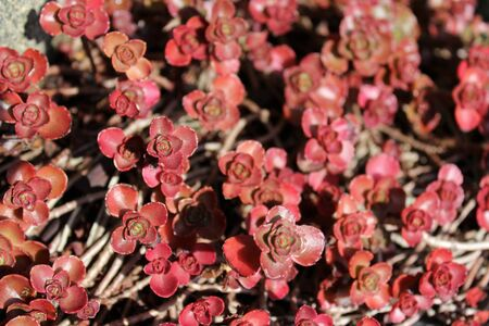 Sedum plants in fall color Foto de archivo - 133544437
