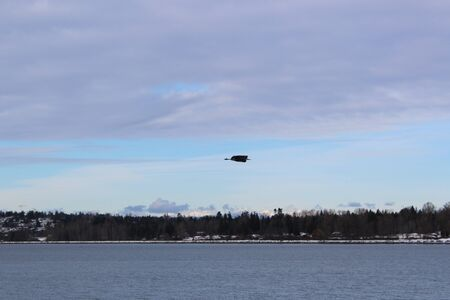 Great blue heron flying over Semiahmoo Bay in frigid winter