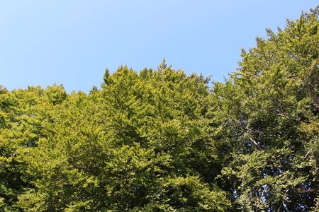 Ols growth trees with a clear blue sky in mid summer