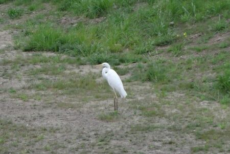 A white egret standing near the river