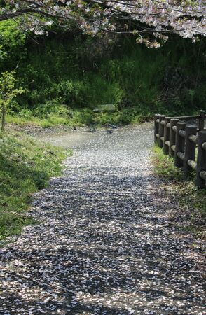 Cherry blossom petals on a quiet path