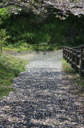 Cherry blossom petals on a quiet path Reklamní fotografie
