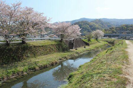 A row of blossoming Sakura trees on a riverbank