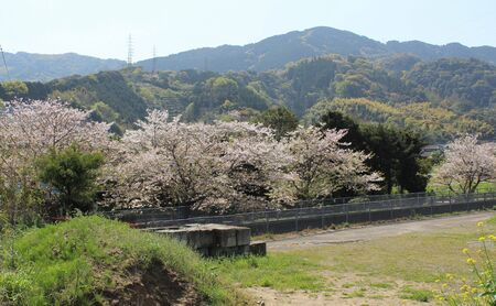 A row of blossoming Sakura trees on a riverbank in Japan