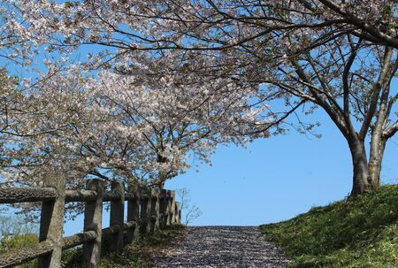 Cherry blossom petals blown away by a spring breeze and scattered on a quiet path